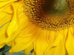 sunflower (08 Mar 2012)