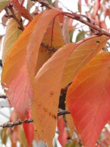 autumn leaves (11 May 2012)