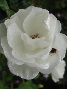 rose with cicada #1 (16 Nov 2012)