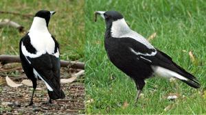 Tasmanian magpies
